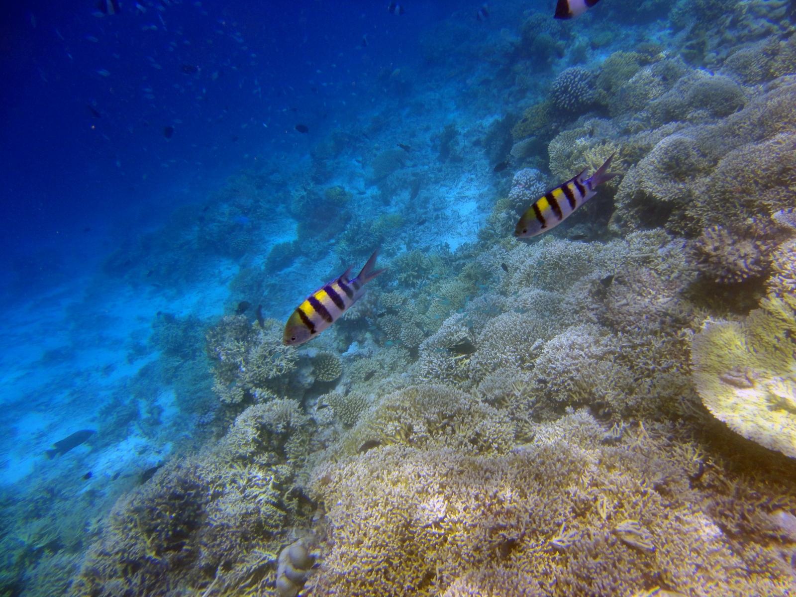 Abudefduf_vaigiensis_002_C_Damiselas-Peces-Payaso_L_Maldivas_U_Sebas_30062015
