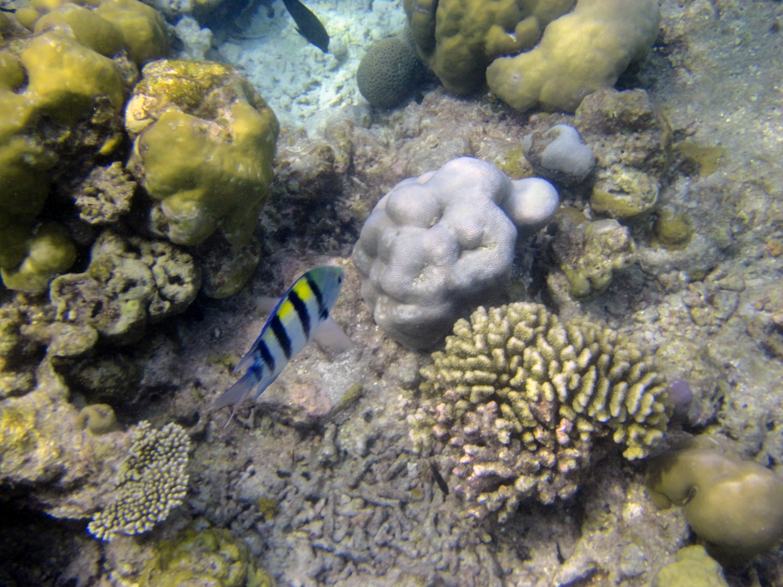 Abudefduf_vaigiensis_003_C_Damiselas-Peces-Payaso_L_Maldivas_U_Sebas_02072015
