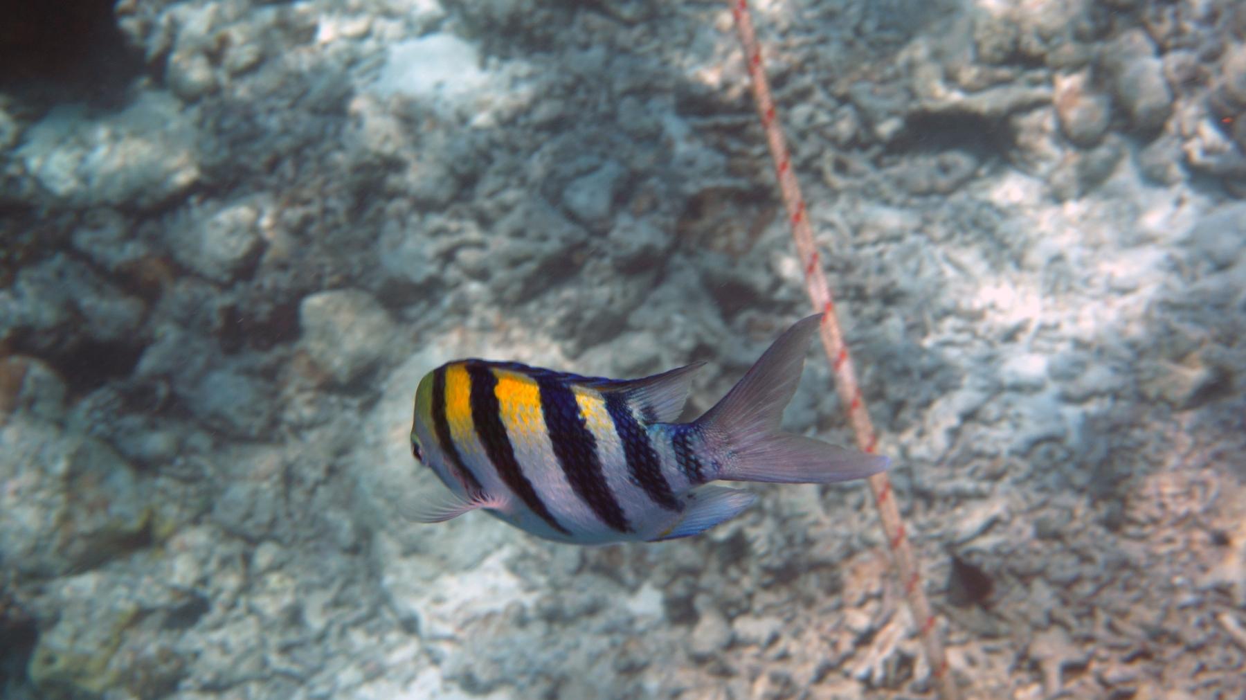 Abudefduf_vaigiensis_004_C_Damiselas-Peces-Payaso_L_Maldivas_U_Sebas_30062015