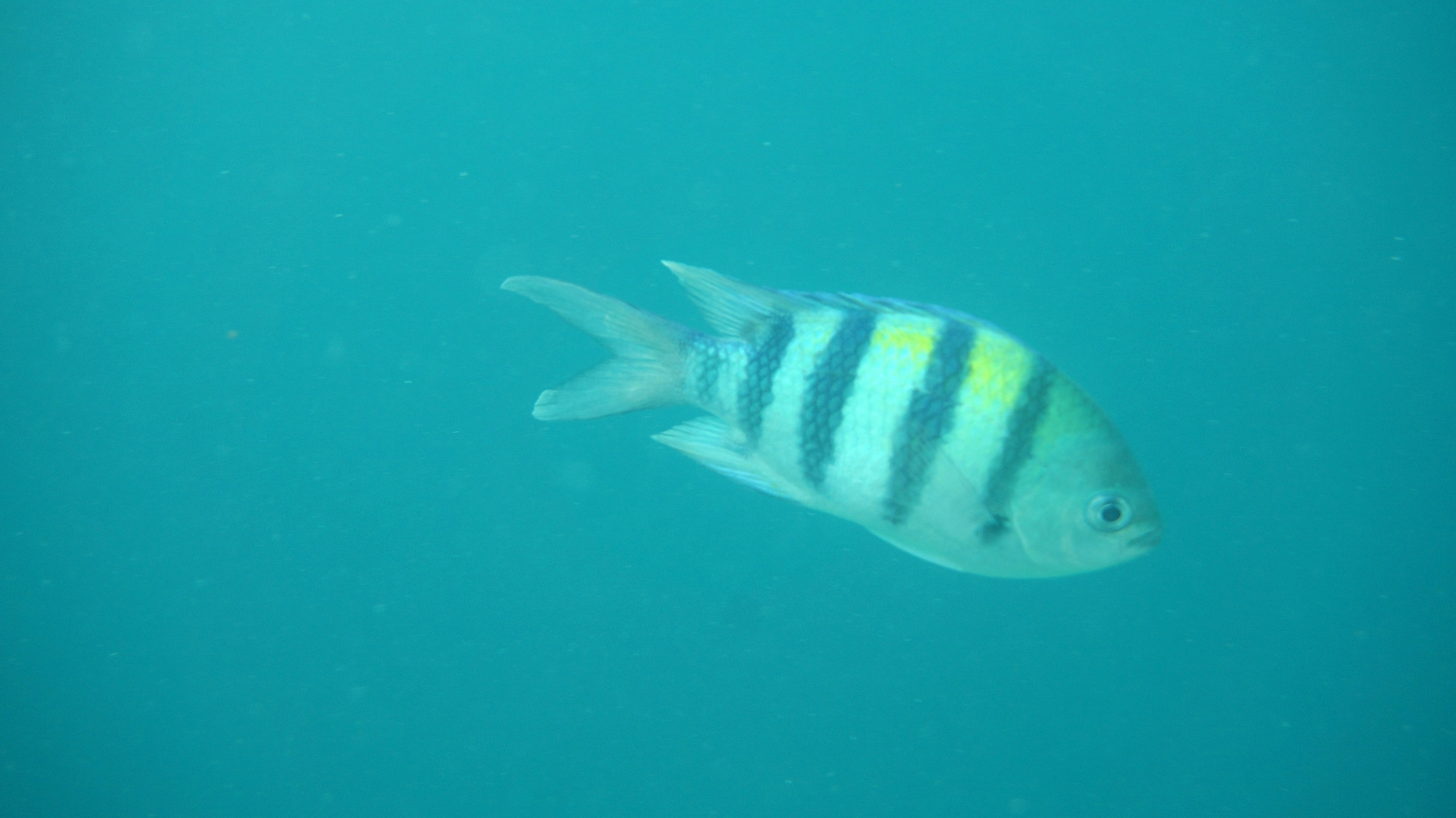 Abudefduf_vaigiensis_005_C_Damiselas-Peces-Payaso_L_Maldivas_U_Sebas_01072015