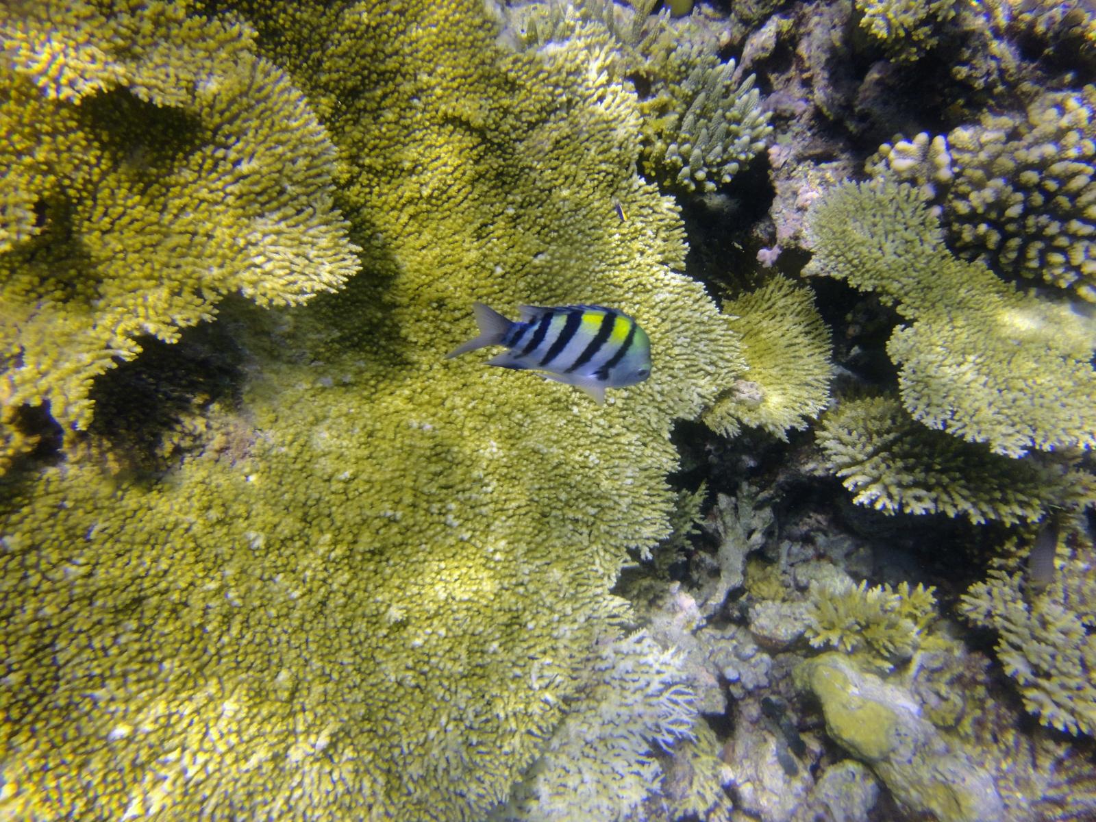 Abudefduf_vaigiensis_006_C_Damiselas-Peces-Payaso_L_Maldivas_U_Sebas_04072015