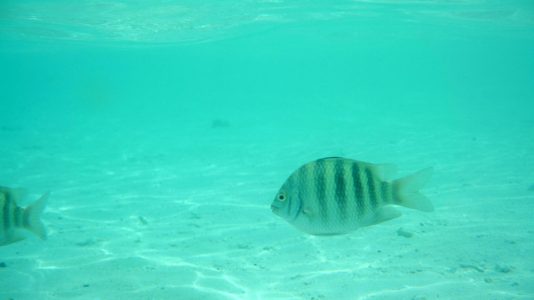 Abudefduf_vaigiensis_007_C_Damiselas-Peces-Payaso_L_Maldivas_U_Sebas_04072015