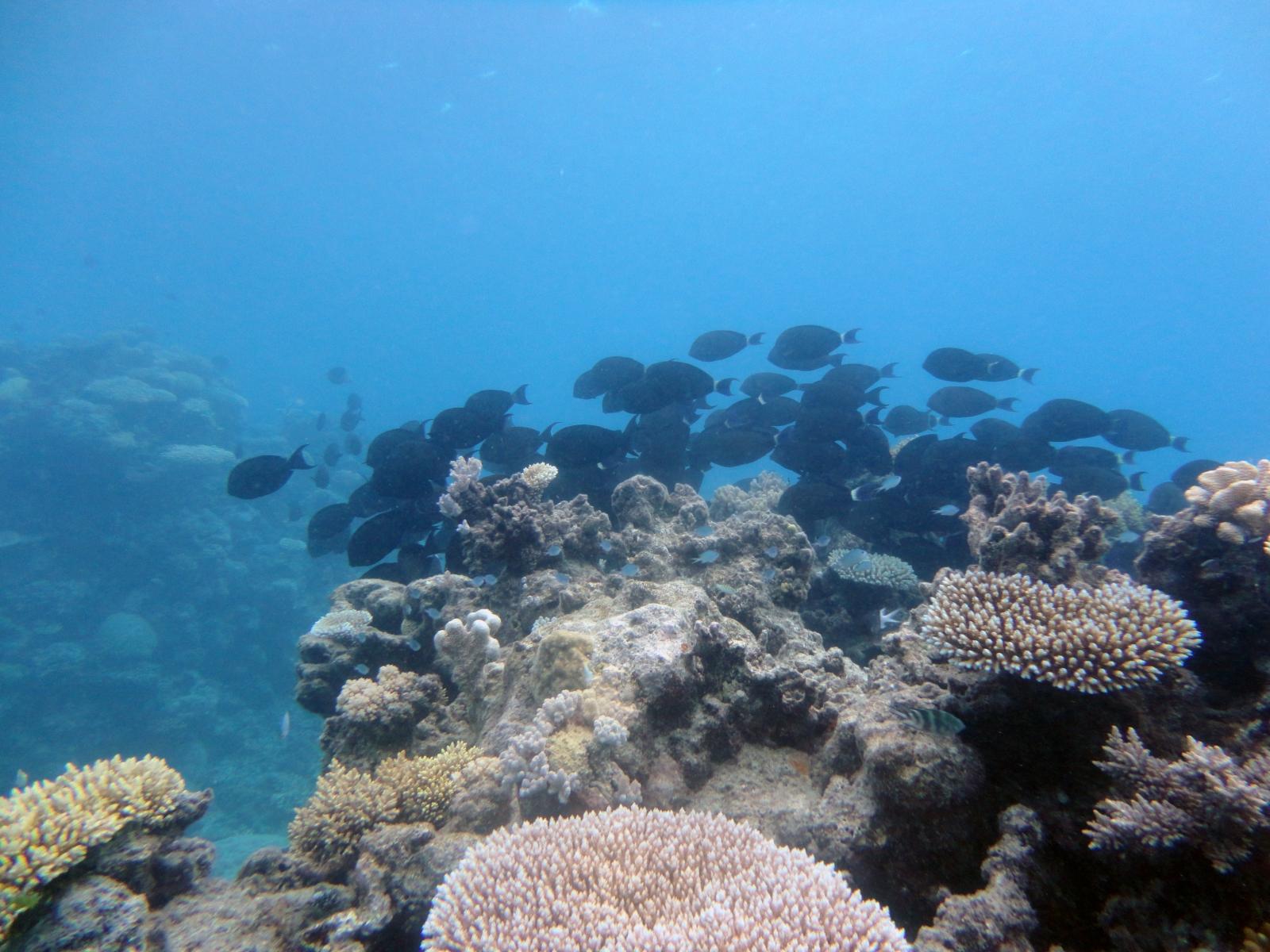 Acanthurus_gahhm_002_C_Peces-Cirujano_L_Gran-Barrera-de-Coral_U_Sebas_03112013