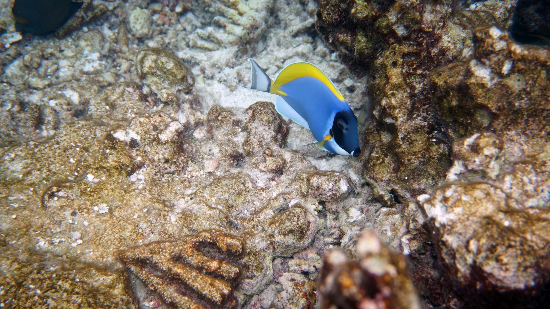 Acanthurus_leucosternon_001_C_Peces-Cirujano_L_Maldivas_U_Sebas_29062015