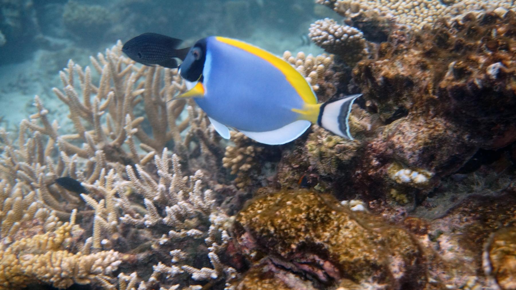 Acanthurus_leucosternon_002_C_Peces-Cirujano_L_Maldivas_U_Sebas_29062015