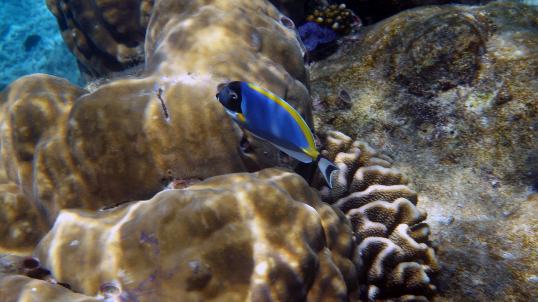 Acanthurus_leucosternon_003_C_Peces-Cirujano_L_Maldivas_U_Sebas_30062015