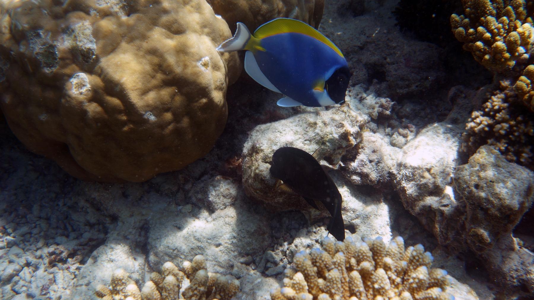 Acanthurus_leucosternon_006_C_Peces-Cirujano_L_Maldivas_U_Sebas_02072015