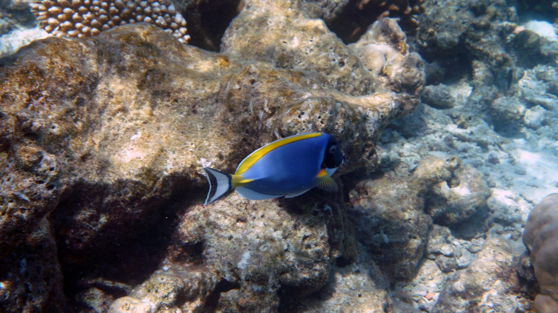 Acanthurus_leucosternon_007_C_Peces-Cirujano_L_Maldivas_U_Sebas_03072015