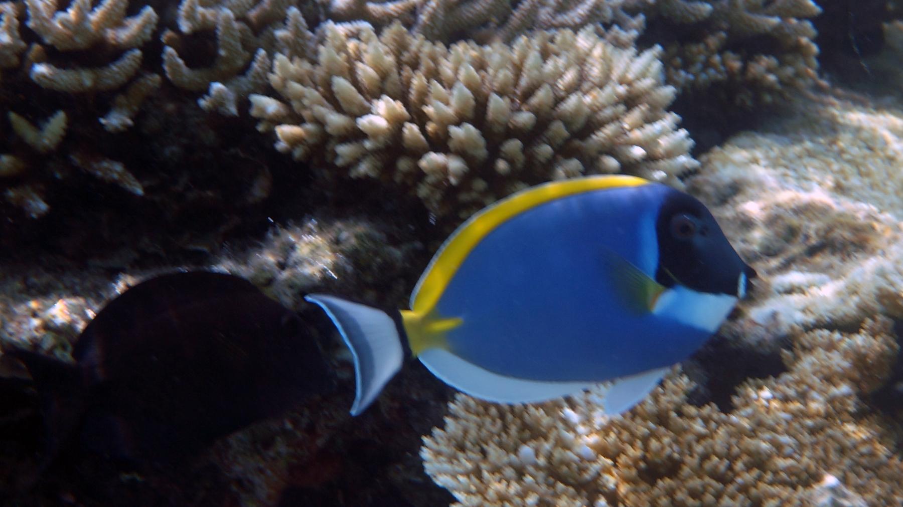 Acanthurus_leucosternon_008_C_Peces-Cirujano_L_Maldivas_U_Sebas_04072015
