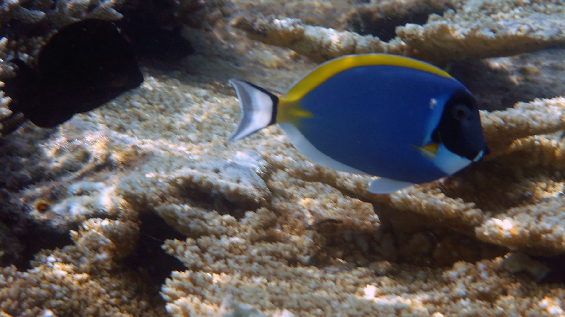 Acanthurus_leucosternon_009_C_Peces-Cirujano_L_Maldivas_U_Sebas_04072015