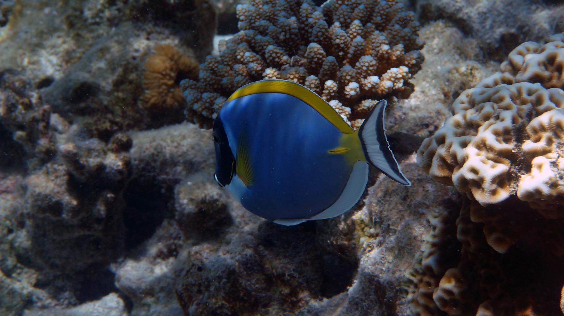 Acanthurus_leucosternon_011_C_Peces-Cirujano_L_Maldivas_U_Sebas_04072015
