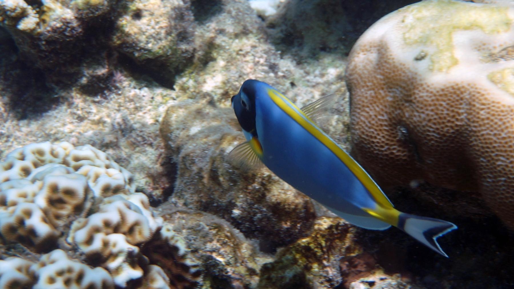 Acanthurus_leucosternon_012_C_Peces-Cirujano_L_Maldivas_U_Sebas_04072015