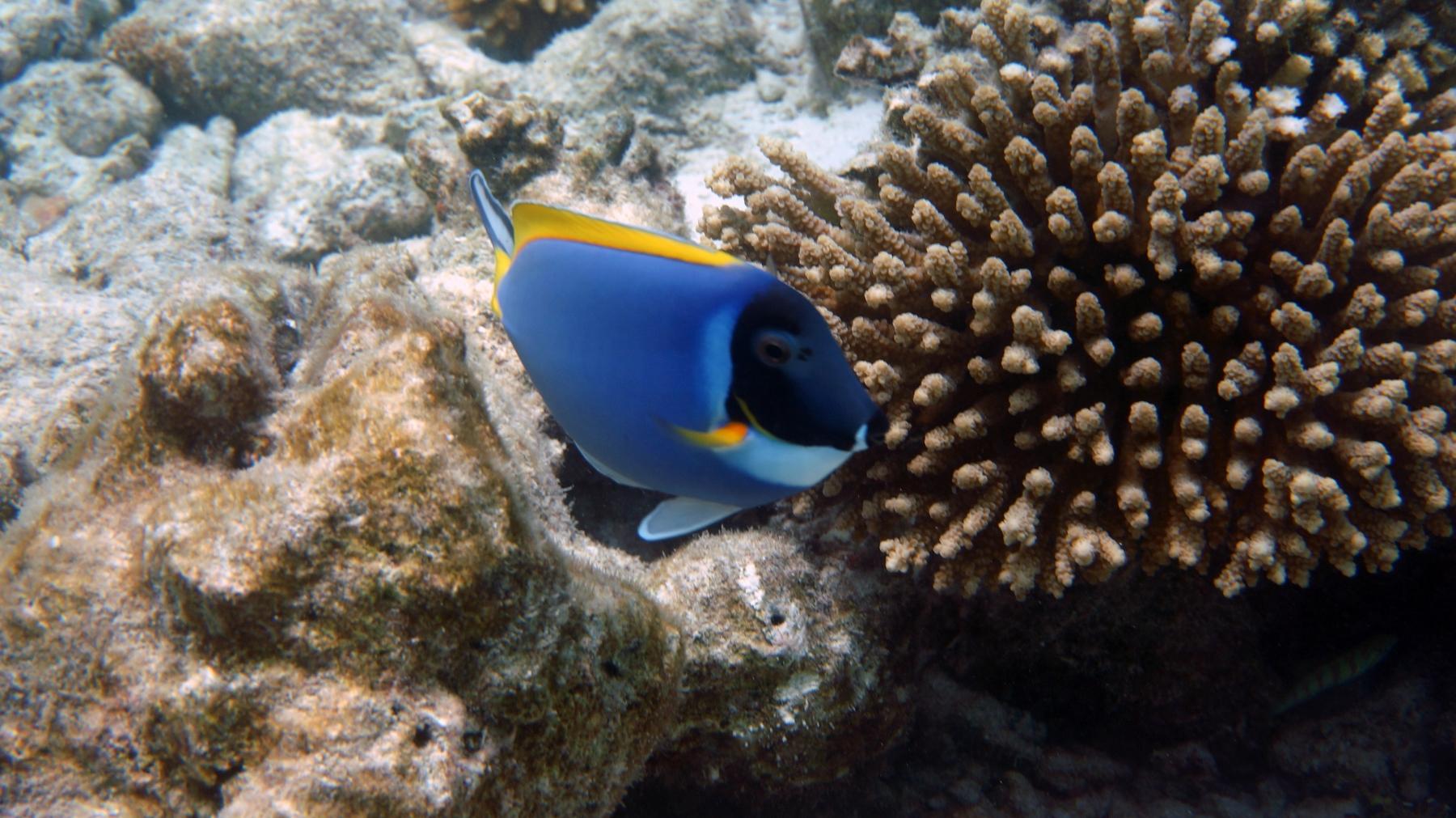 Acanthurus_leucosternon_014_C_Peces-Cirujano_L_Maldivas_U_Sebas_04072015