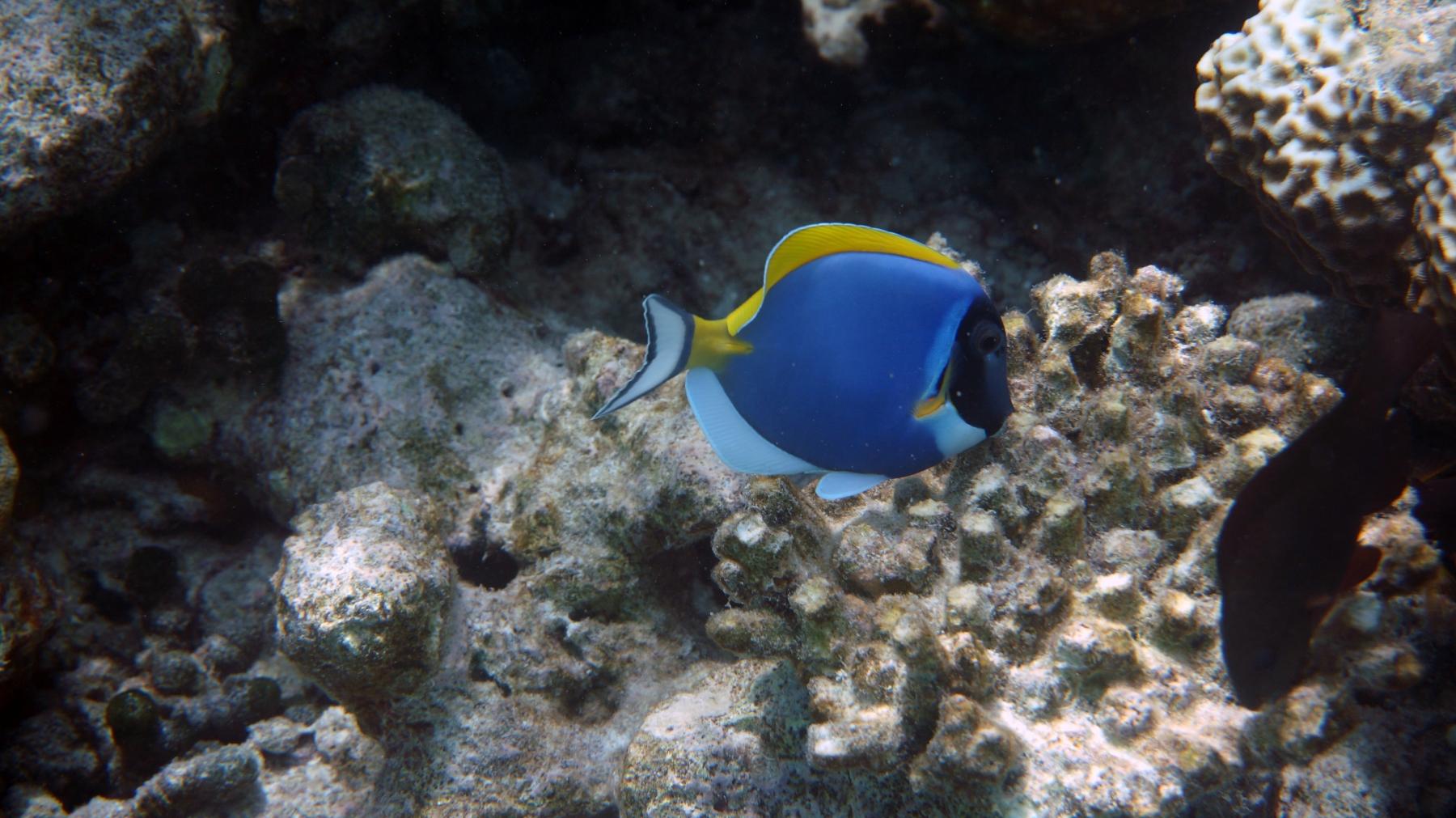 Acanthurus_leucosternon_015_C_Peces-Cirujano_L_Maldivas_U_Sebas_04072015