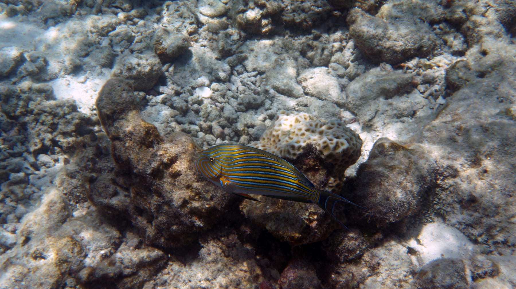 Acanthurus_lineatus_001_C_Peces-Cirujano_L_Maldivas_U_Sebas_02072015