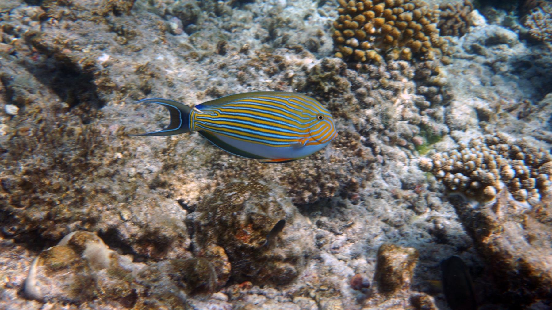 Acanthurus_lineatus_002_C_Peces-Cirujano_L_Maldivas_U_Sebas_02072015