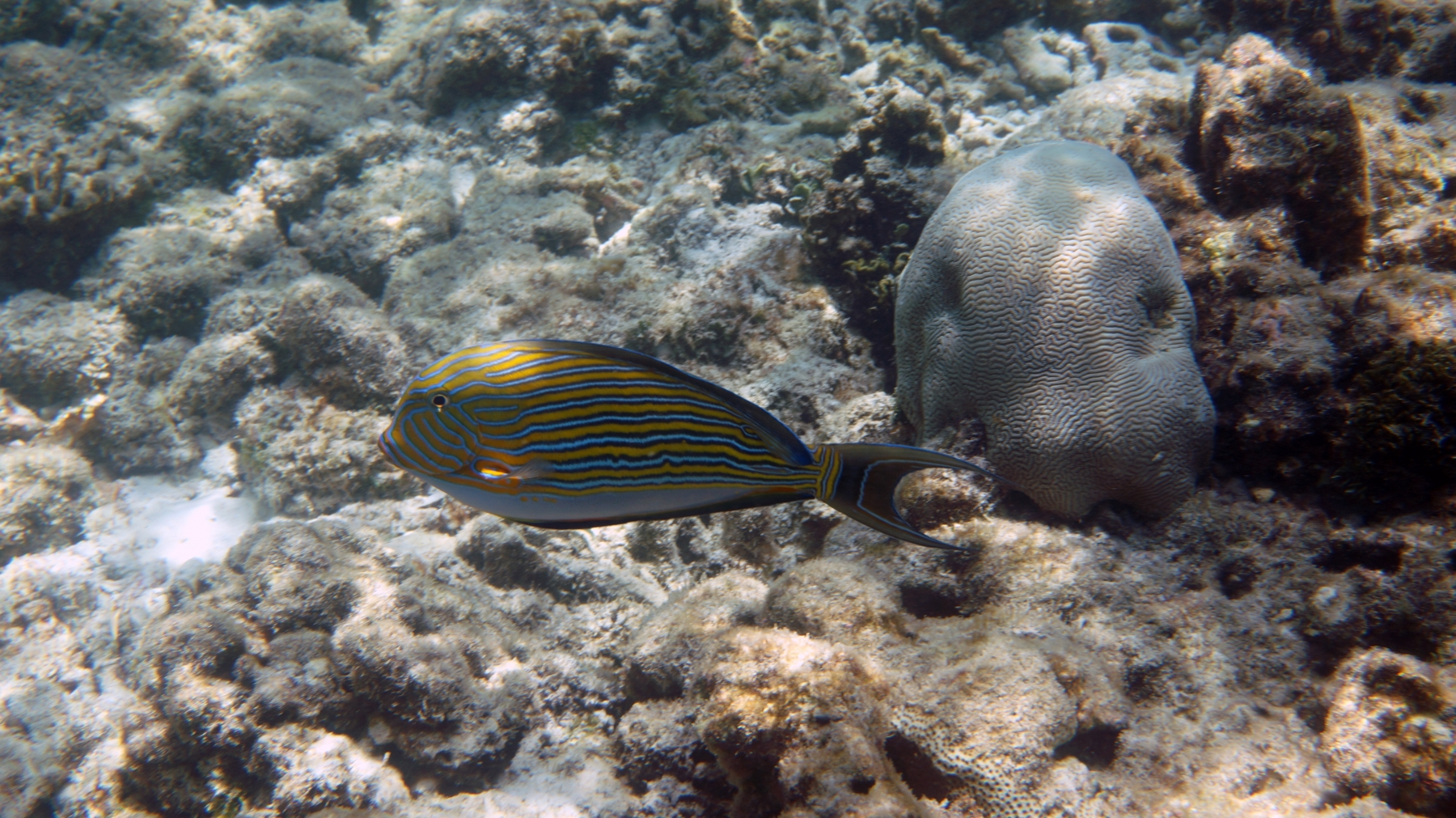 Acanthurus_lineatus_003_C_Peces-Cirujano_L_Maldivas_U_Sebas_02072015