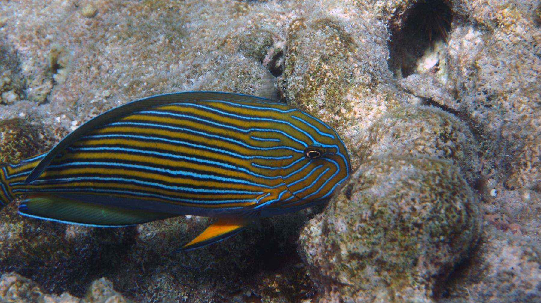 Acanthurus_lineatus_005_C_Peces-Cirujano_L_Maldivas_U_Sebas_04072015