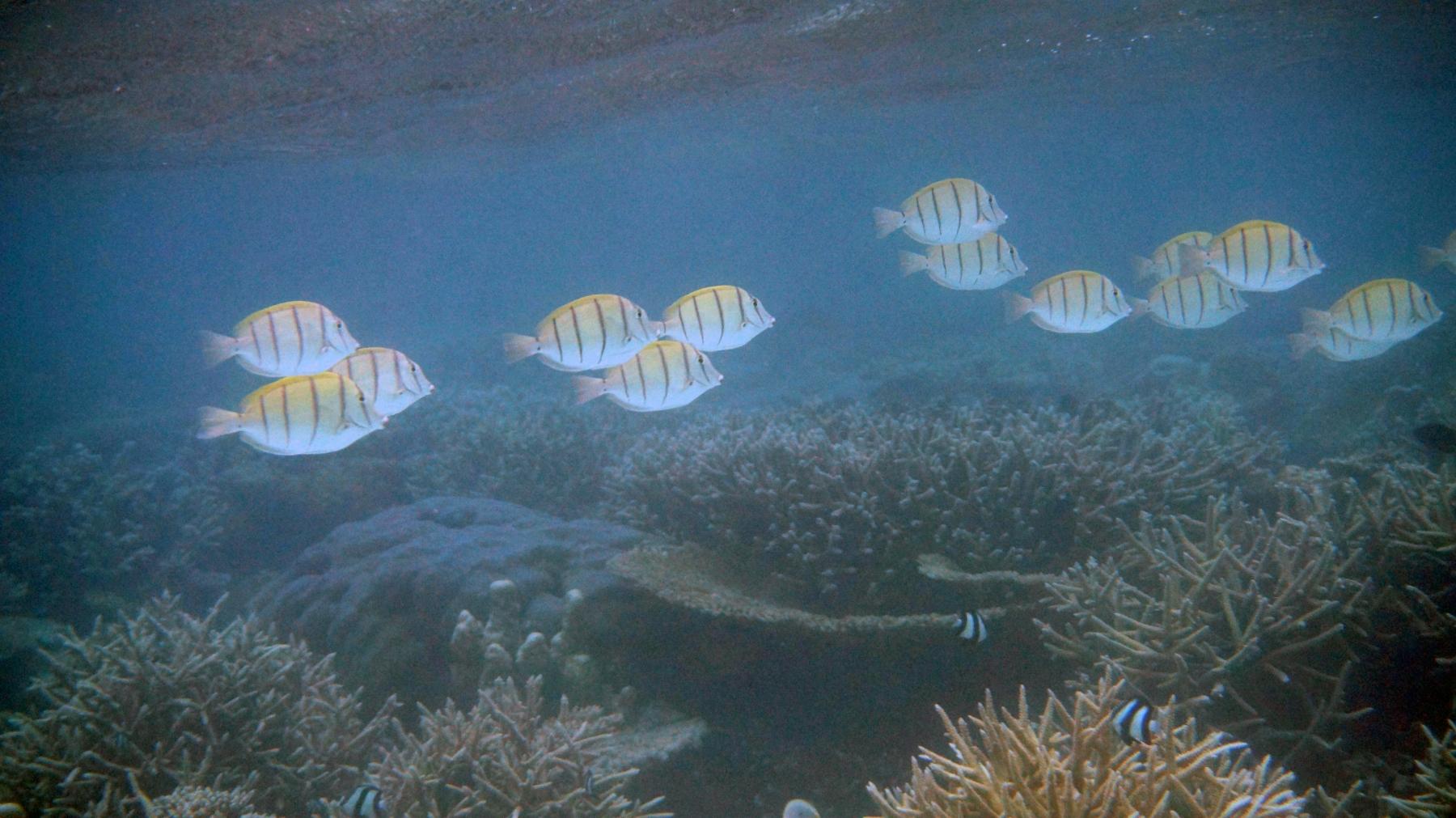 Acanthurus_triostegus_002_C_Peces-Cirujano_L_Maldivas_U_Sebas_29062015