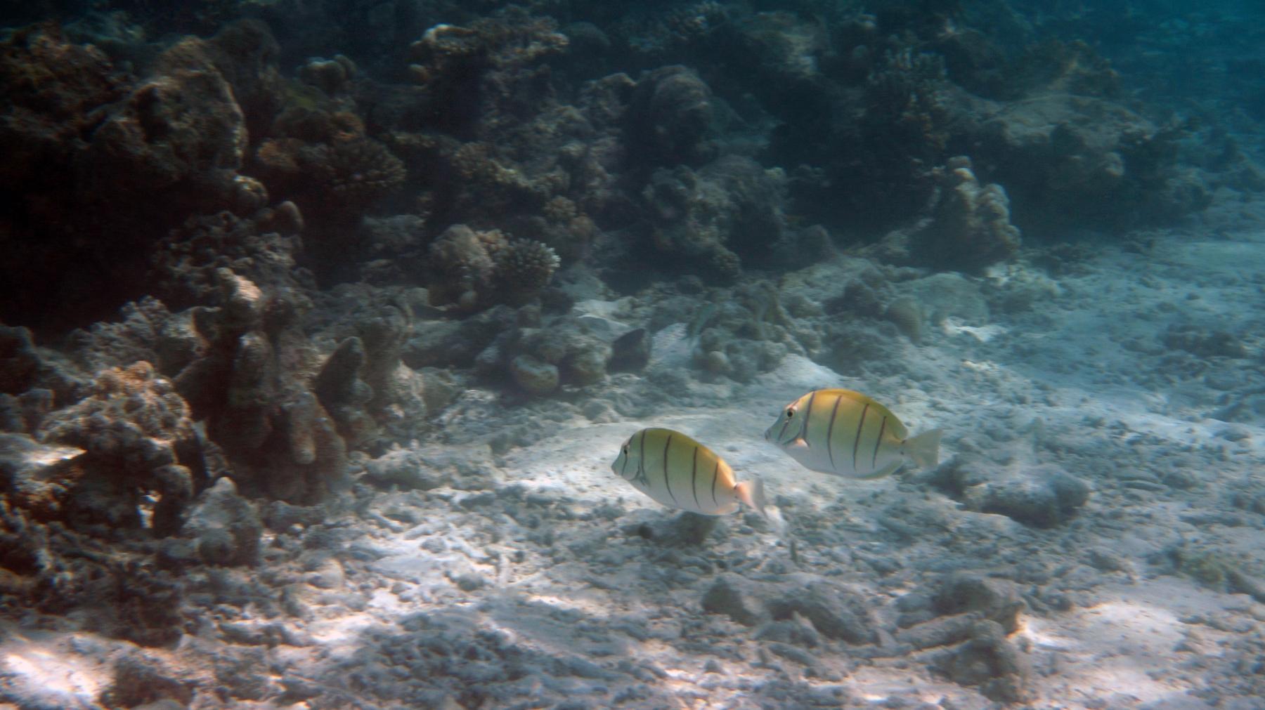 Acanthurus_triostegus_010_C_Peces-Cirujano_L_Maldivas_U_Sebas_03072015