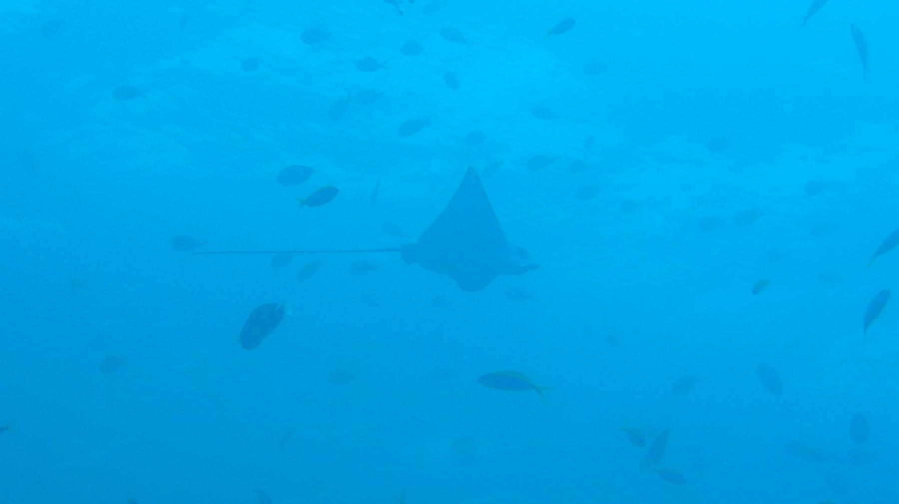 Aetobatus_narinari_001_C_Rajiformes_L_Maldivas_U_Sebas_01072015