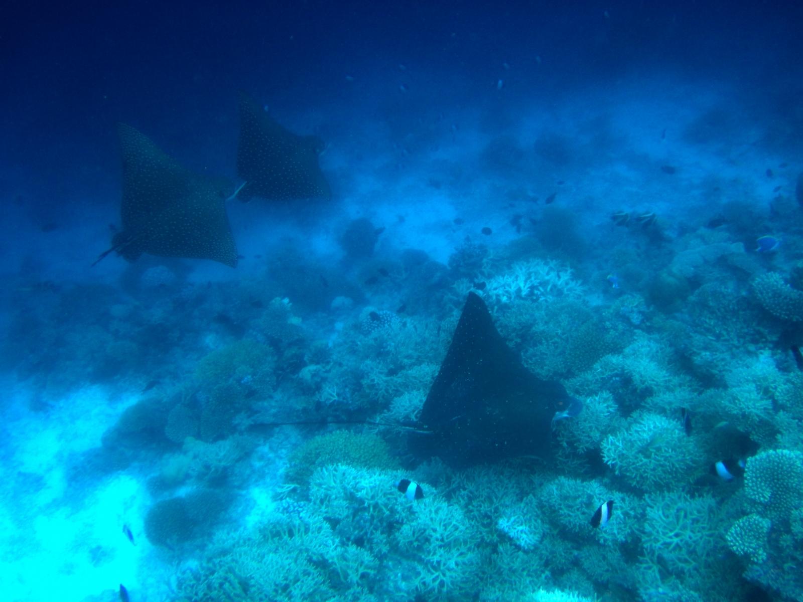 Aetobatus_narinari_003_C_Rajiformes_L_Maldivas_U_Sebas_29062015