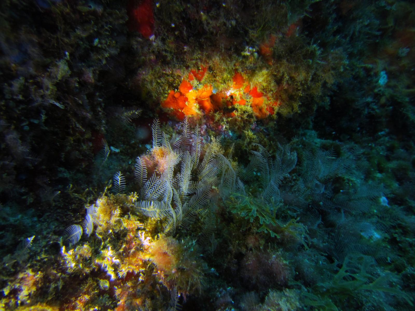 Aglaophenia_pluma_002_C_Hidrozoos_L_Tossa-de-Mar_U_Miguel_01052015