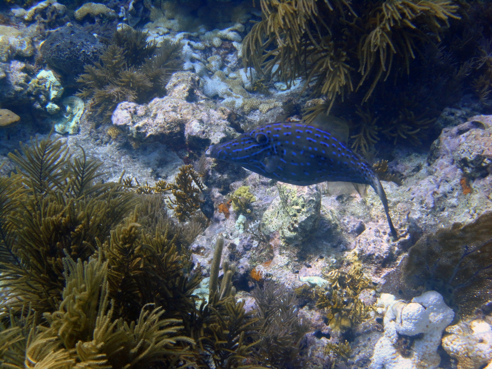 Aluterus_scriptus_002_C_Tetraodontiformes_L_Gran-Barrera-de-Coral_U_Sebas_04112013