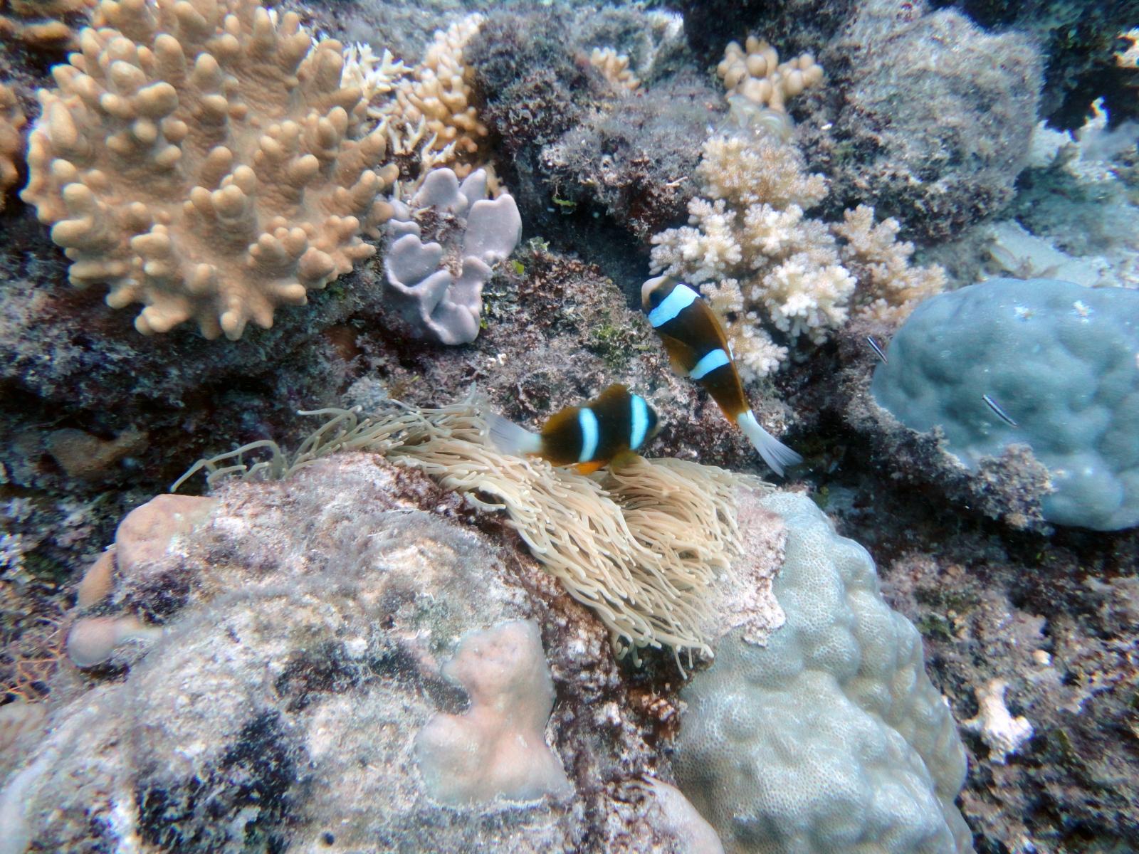 Amphiprion_clarkii_001_C_Damiselas-Peces-Payaso_L_Gran-Barrera-de-Coral_U_Sebas_03112013