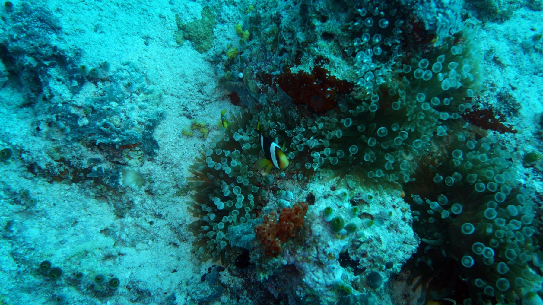 Amphiprion_clarkii_004_C_Damiselas-Peces-Payaso_L_Maldivas_U_Sebas_01072015