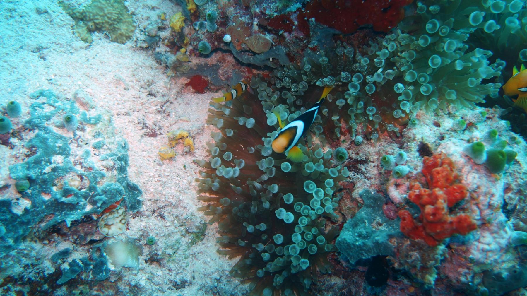Amphiprion_clarkii_005_C_Damiselas-Peces-Payaso_L_Maldivas_U_Sebas_01072015
