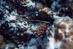 Panulirus_versicolor_001_C_Malacostraceos_L_Maldivas_U_Sebas_02072015