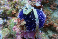 Sphaerechinus_granularis_003_C_Equinodermos_L_Islas-Medas_U_Sebas_10062014