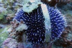 Sphaerechinus_granularis_004_C_Equinodermos_L_Islas-Medas_U_Sebas_10062014
