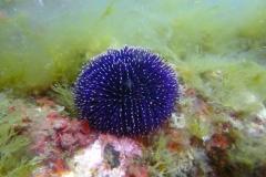 Sphaerechinus_granularis_006_C_Equinodermos_L_Tossa-de-Mar_U_Sebas_02052015