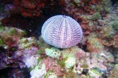 Sphaerechinus_granularis_008_C_Equinodermos_L_Tossa-de-Mar_U_Sebas_02052015