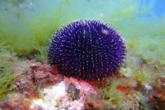 Sphaerechinus_granularis_009_C_Equinodermos_L_Tossa-de-Mar_U_Sebas_02052015
