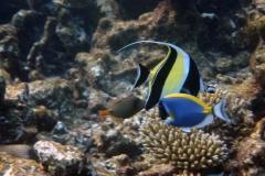 Zanclus_cornutus_001_C_Zanclidae_L_Maldivas_U_Sebas_30062015