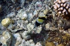 Zanclus_cornutus_003_C_Zanclidae_L_Maldivas_U_Sebas_30062015