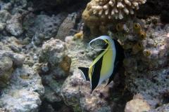 Zanclus_cornutus_004_C_Zanclidae_L_Maldivas_U_Sebas_30062015
