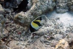 Zanclus_cornutus_005_C_Zanclidae_L_Maldivas_U_Sebas_30062015