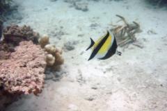 Zanclus_cornutus_006_C_Zanclidae_L_Maldivas_U_Sebas_29062015