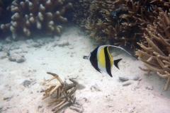 Zanclus_cornutus_007_C_Zanclidae_L_Maldivas_U_Sebas_29062015