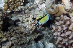 Zanclus_cornutus_008_C_Zanclidae_L_Maldivas_U_Sebas_30062015