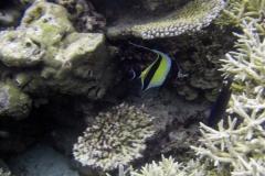 Zanclus_cornutus_009_C_Zanclidae_L_Maldivas_U_Sebas_29062015