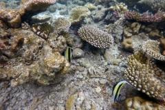 Zanclus_cornutus_011_C_Zanclidae_L_Maldivas_U_Sebas_29062015