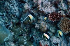 Zanclus_cornutus_013_C_Zanclidae_L_Maldivas_U_Sebas_02072015
