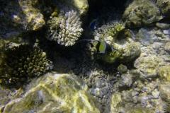 Zanclus_cornutus_014_C_Zanclidae_L_Maldivas_U_Sebas_03072015