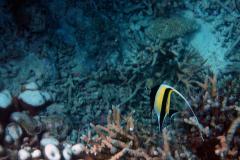 Zanclus_cornutus_015_C_Zanclidae_L_Maldivas_U_Sebas_04072015