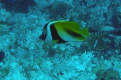 Zanclus_cornutus_016_C_Zanclidae_L_Maldivas_U_Sebas_04072015